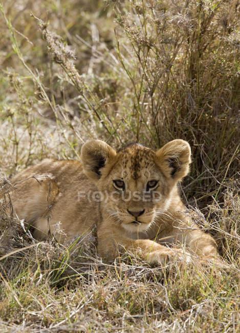 Львенок лежал в траве и глядя на камеру — стоковое фото