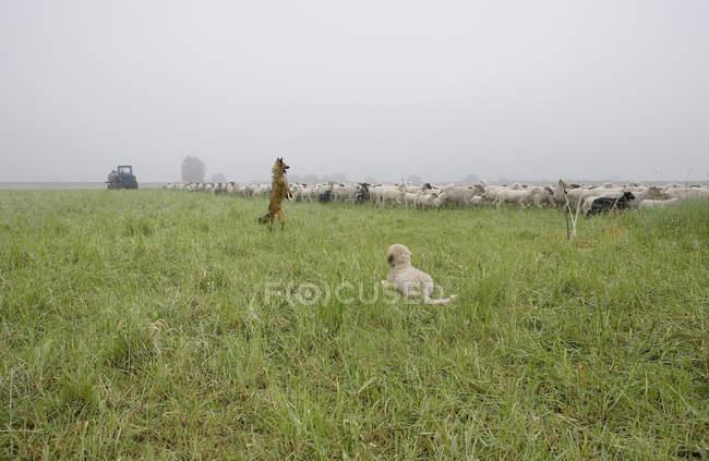 Due cani e mandrie di pecore nel nebbioso campo di campagna — Foto stock