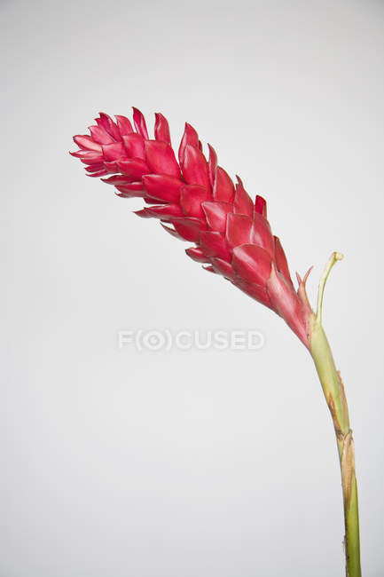 Roter Ingwer Blumen auf weißem Hintergrund — Stockfoto