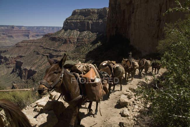 Group of pack donkeys walking mountain trail — Stock Photo