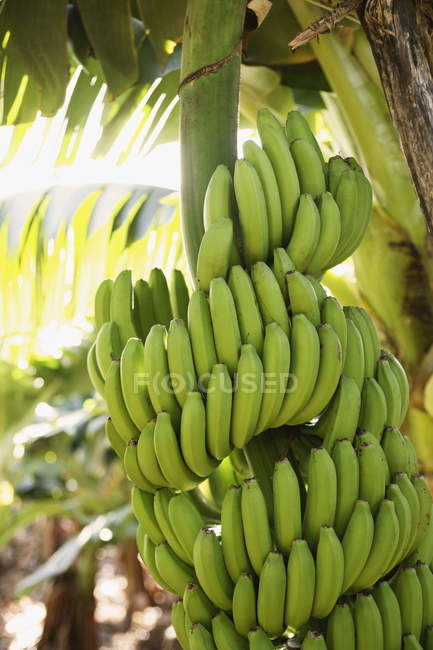 Банани ростуть на сонячної дерево — стокове фото