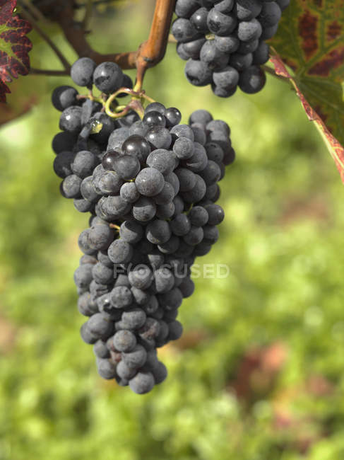 Bunch of grapes growing at vineyard — Stock Photo