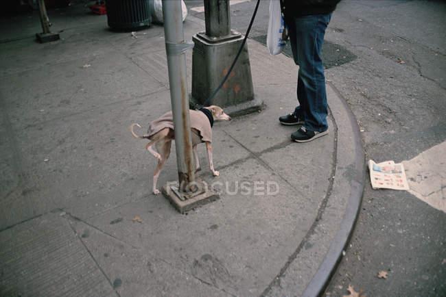 Chien d'uriner sur le poteau à la rue — Photo de stock