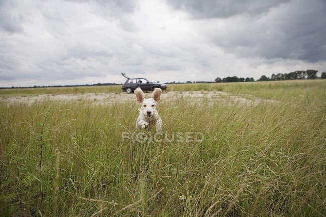 Vista frontale del Waterdog spagnolo che attraversa il campo — Foto stock