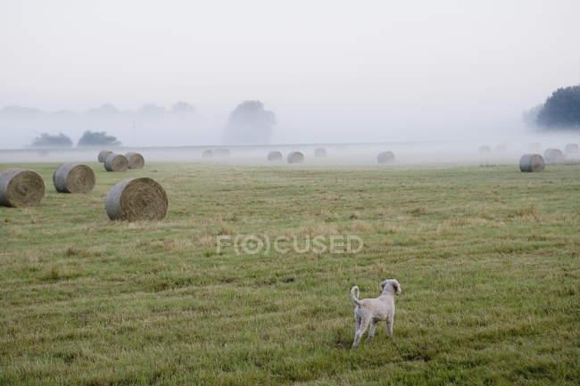 Vue arrière du chien debout dans un champ brumeux avec des balles de foin — Photo de stock