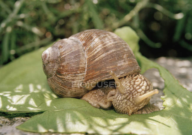 Close up view of snail on leaf — Stock Photo