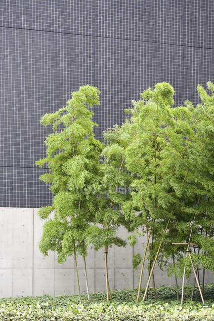 Bambusbäume wachsen neben Gebäude — Stockfoto