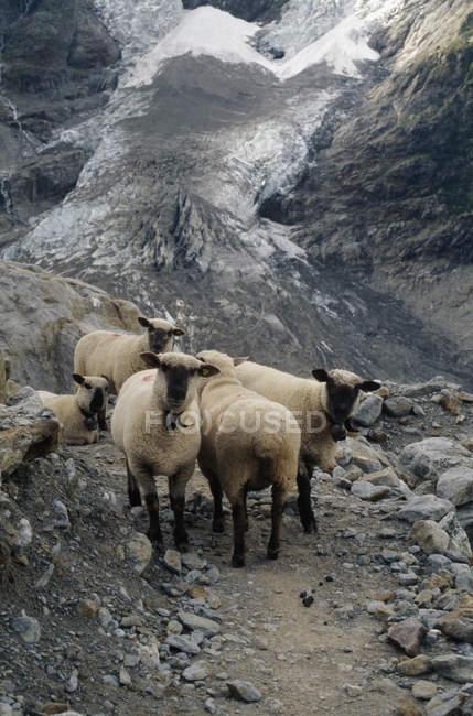 Schafherde am Berg Weg — Stockfoto