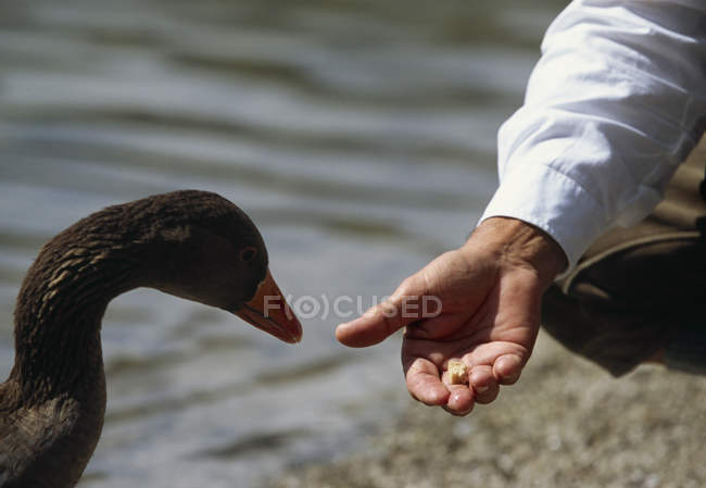 Crop hand feeding Greylag Goose by pond — Stock Photo