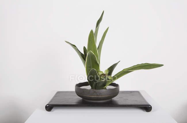 Topfpflanze auf Tisch auf weißem Hintergrund — Stockfoto