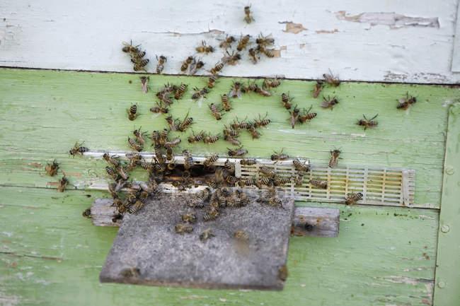 Cerrar vista de enjambre de abejas en la colmena - foto de stock