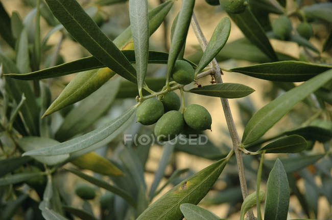 Close up view of green olives and foliage on  tree — Stock Photo