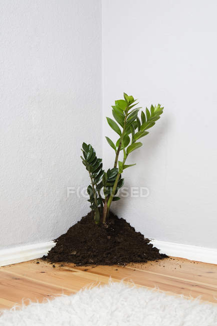 A plant growing out of pile of soil in corner of room — Stock Photo