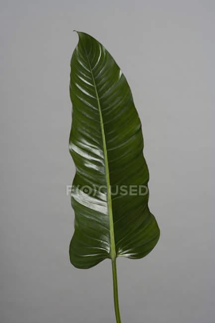 Зелений блискучі лист на сірий фон — стокове фото