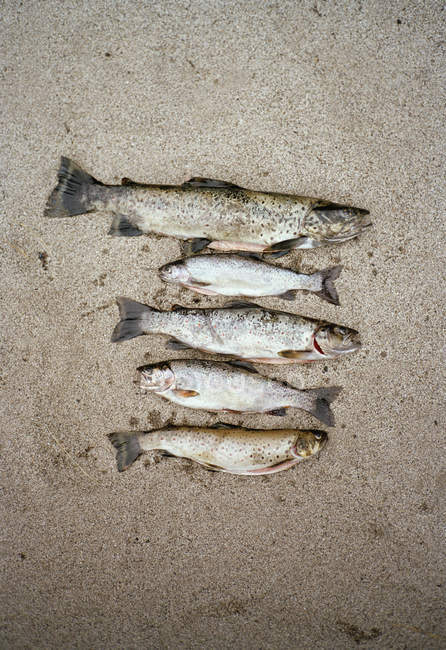 Five dead fishes on ground — Stock Photo
