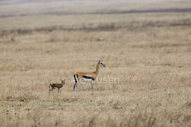 Springbok mother and calf at safari field — Stock Photo