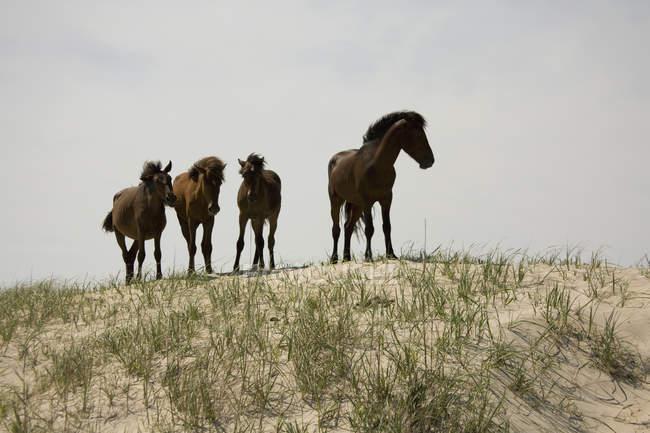 Банкір поні стоячи на піщаній дюні над сірий небо — стокове фото