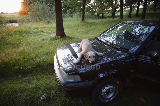 Spanish Waterdog lying on a car hood — Stock Photo