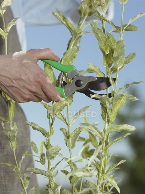 Crop male hand cutting stems with pruning shears — Stock Photo