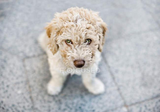 Ritratto di cane riccio beige che guarda la macchina fotografica — Foto stock