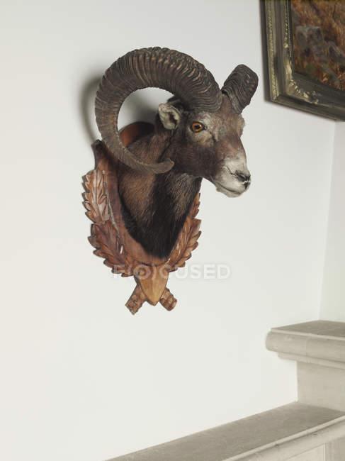 Cabeça de cabra empalhado pendurado na parede — Fotografia de Stock