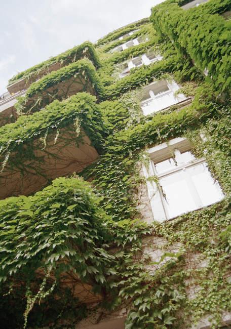 Vue de dessous du bâtiment façade embrassé avec feuilles de lierre — Photo de stock