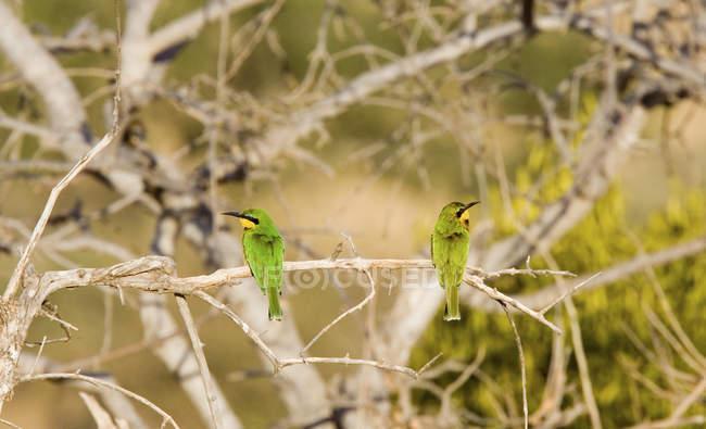 Dois pássaros empoleirar-se na filial em natureza — Fotografia de Stock