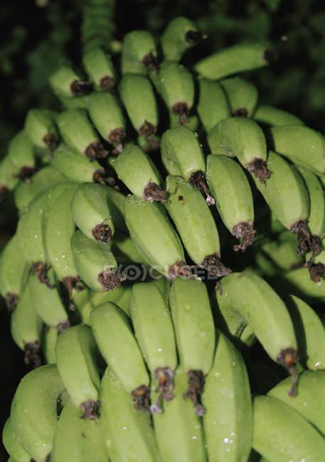 Cerrar vista de plátanos verdes creciendo sobre árboles - foto de stock