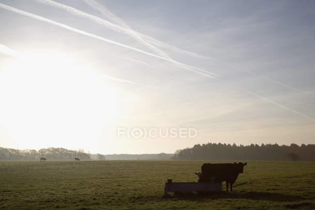 Paysage paisible avec des vaches dans le champ — Photo de stock