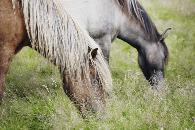 Cultivo de caballos pálidos pastando en campo verde - foto de stock