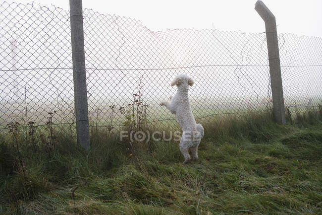 Rear view of Spanish Water Dog rearing up and leaning on fence — Stock Photo