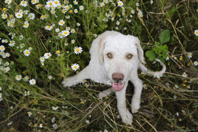 Retrato de cachorro sentado no campo de camomila e olhando para a câmera — Fotografia de Stock