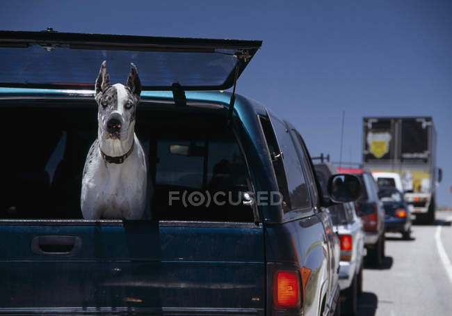 Great Dane staring out window of truck on highway — Stock Photo