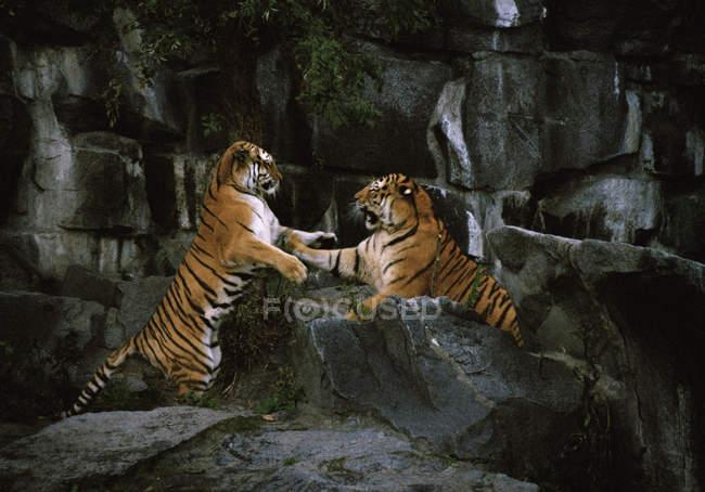 Вид збоку два тигра бойових дій на скелях — стокове фото