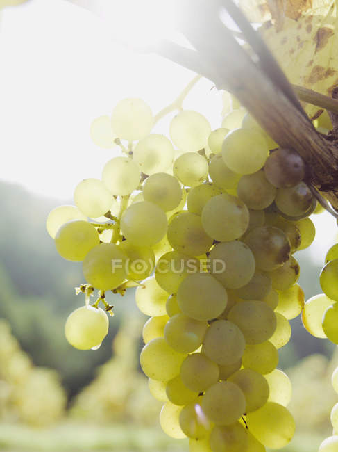 Close up view of sunlit bunch of grapes growing at vineyard — Stock Photo