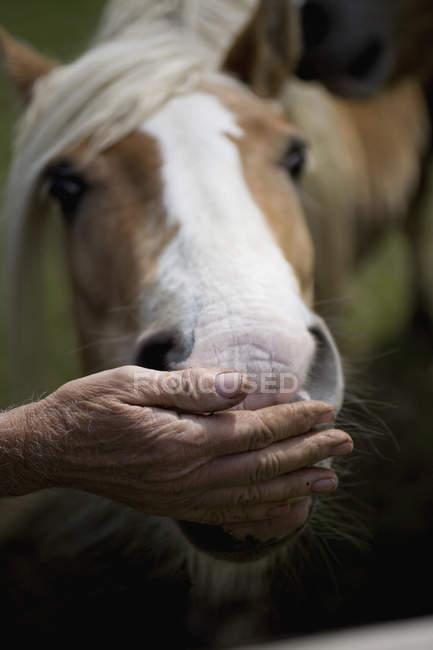 Урожай мужской стороны кормления лошади — стоковое фото