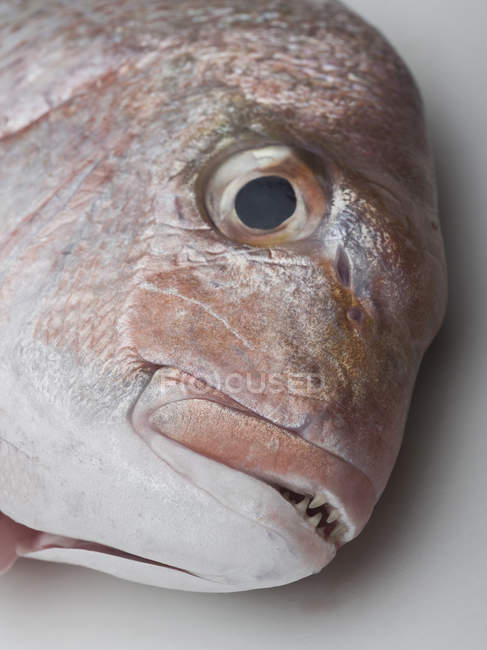 Close up view of red seabream head — Stock Photo