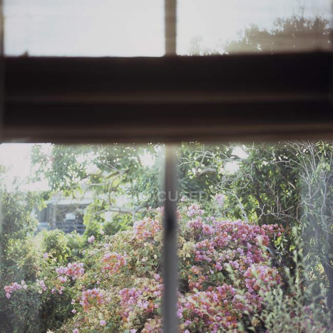 Bougainvillea-Blüten, die durch ein Fenster gesehen — Stockfoto