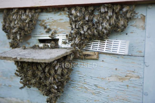Cerrar vista de enjambre de abejas en la entrada de la colmena - foto de stock