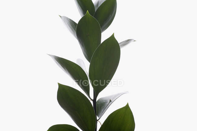 Green plant leaves on white background — Stock Photo