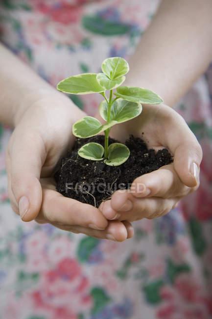 Mani tappate che tengono piantina di semenzaio nel terreno — Foto stock