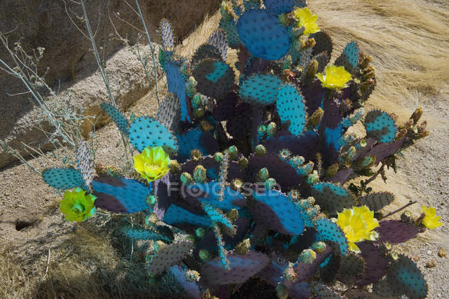 Colorful prickly pear cactus plants — Stock Photo