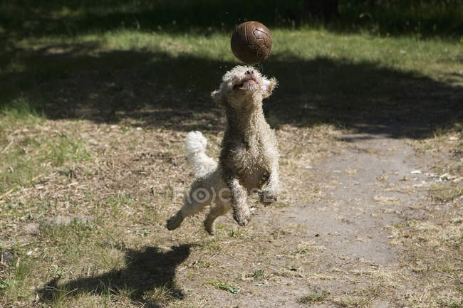 A Spanish Water Dog jumping in to get soccer ball — Stock Photo
