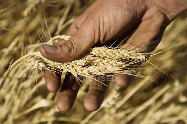 Schneiden Sie männliche Hand, die Weizenernte — Stockfoto
