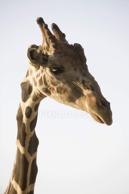 Портрет Жираф на фоне ясного неба — стоковое фото