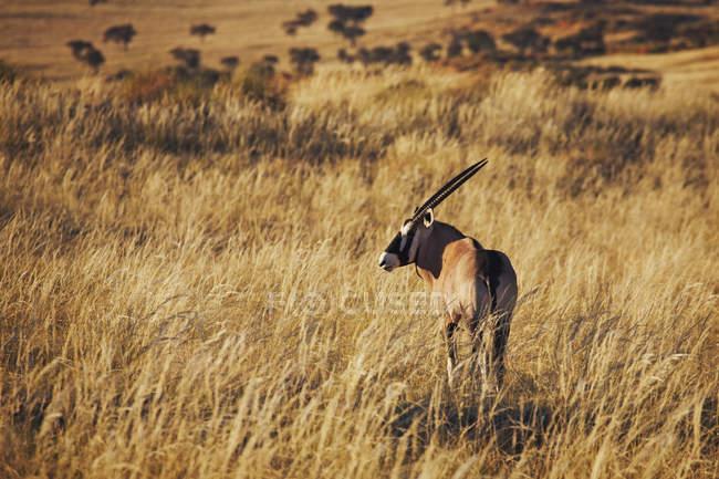 Vista posteriore del Gemsbok camminando al safari e distogliere lo sguardo — Foto stock