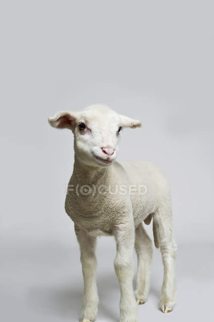 Studio shot of white lamb on grey backdrop — Stock Photo