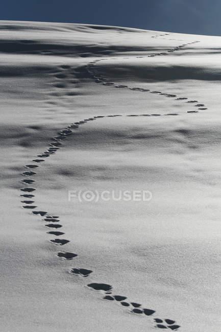 След животного cледы на снегу уютной — стоковое фото