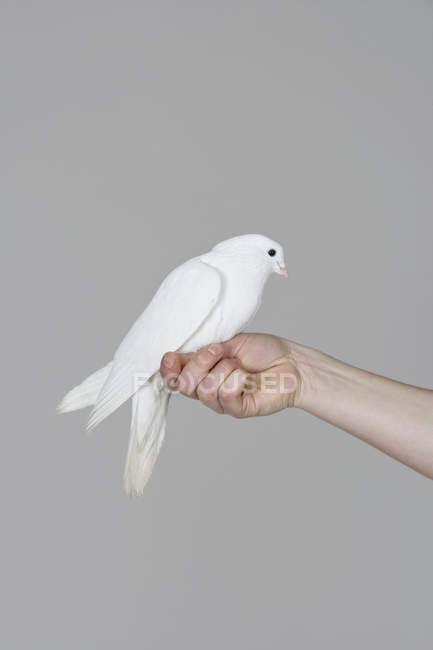 White dove perched on human hand over wall on background — Stock Photo