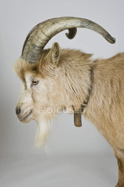 Side view of goat on white background — Stock Photo